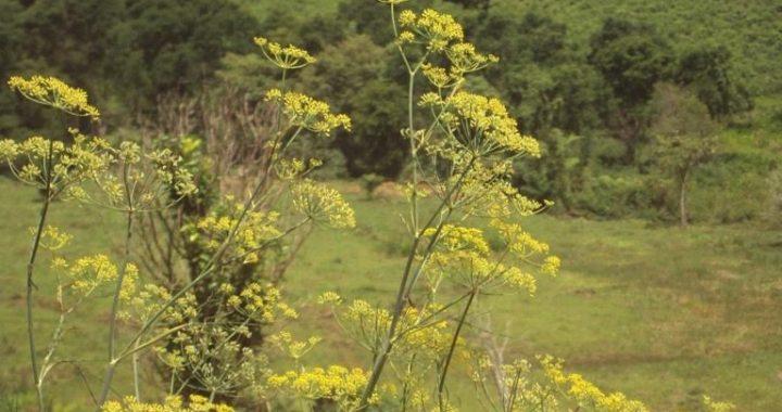 Il Silfio: la pianta ormai estinta venduta a peso d'oro
