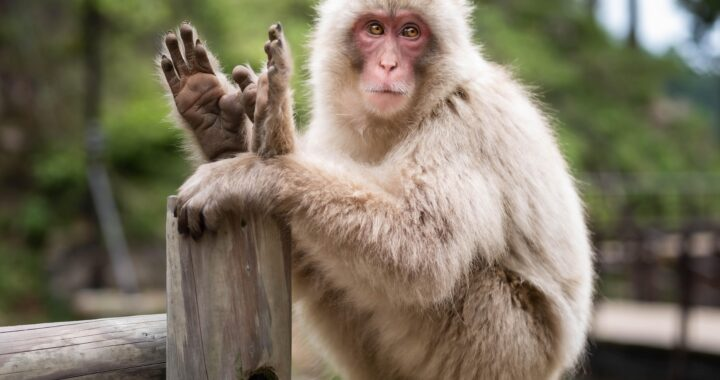Le scimmie possono imparare a parlare?